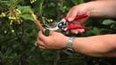 Монилиальный ожог на плодовых деревьях. Профилактика и лечение
