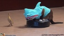 Cat In A Shark Costume Chases A Duck While Riding A Roomba
