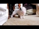 Свиньи тоже танцуют восточный танец
