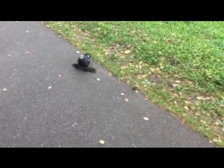 Породистый голубь залетел в Иваново