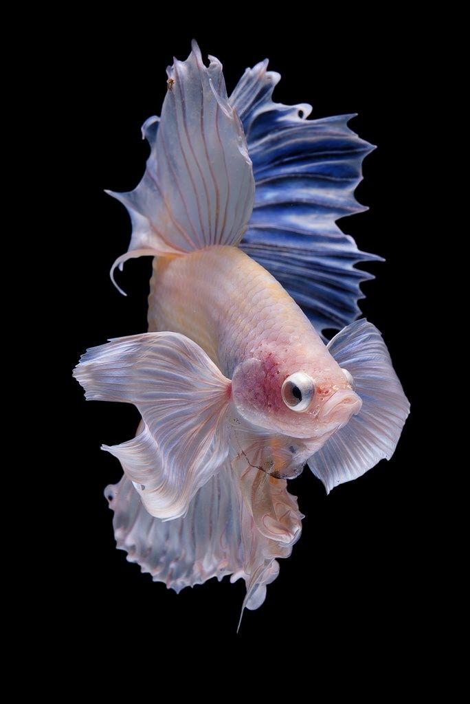 Эстетика аквариумных рыб