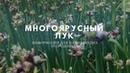 Лук многоярусный – выращивание и полезные свойства.