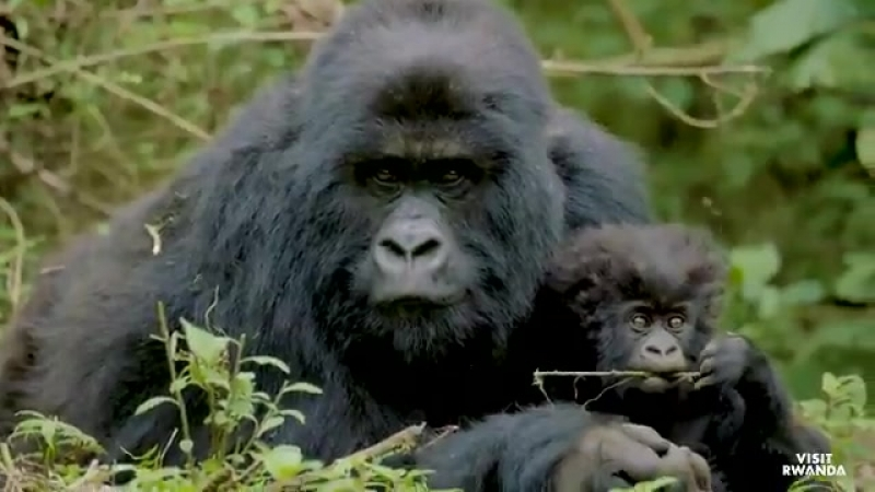 Check out @Lauren12arsenal and @AlexScott as they get up close and personal with the Rwandan mountain gorillas on a truly unique