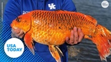 Man snags 20-pound 'goldfish' with a biscuit as bait