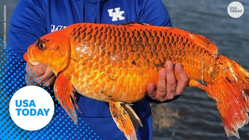 Man snags 20 pound 'goldfish' with a biscuit as bait