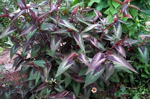 ГОРЕЦ Горец относится к немногочисленным растениям, которые имеют множество видов, кардинально отличающихся друг от друга. Однолетники, многолетники, лианы, стелющиеся, кустарники произрастают