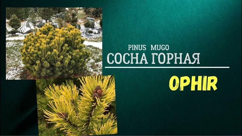 Сосна горная Офир (Pinus mugo Ophir )