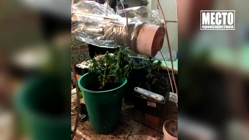 Сводка Задержали продавцов домашней марихуаны Вятские Поляны 13 11 2018