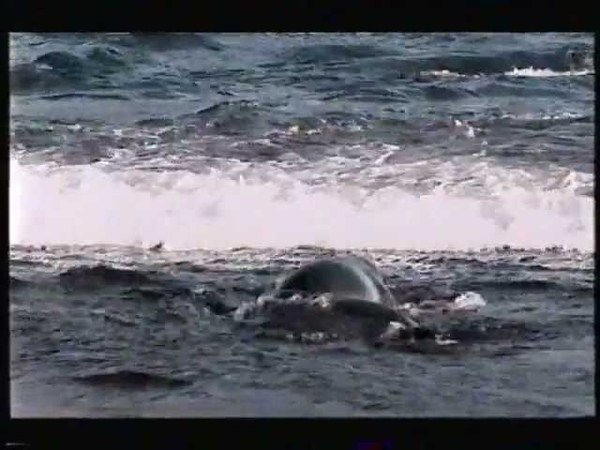 The amazing story of how a young orca finally becomes a killer whale