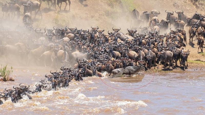 Đang vượt sông thì bị cắn - Cuộc di cư khủng khiếp nhất thế giới động vật