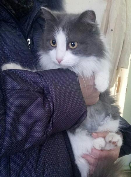 Серо-белая, пушистая молодая кошечка, ищет самого хорошего хозяина.