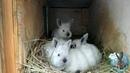Рубрика Любопытный кроликовод , зимние окролы!