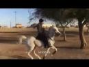 Арабские лошади (1б)