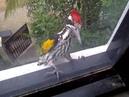 Woodpecker gone mad!
