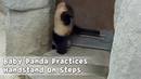 Baby Panda Practices Handstand On Steps iPanda