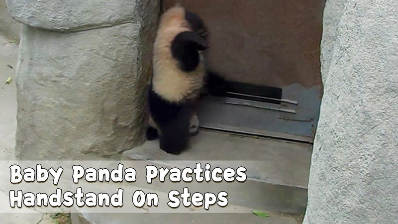Baby Panda Practices Handstand On Steps | iPanda