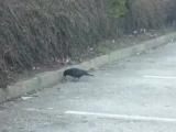 Ворона кормит мышь