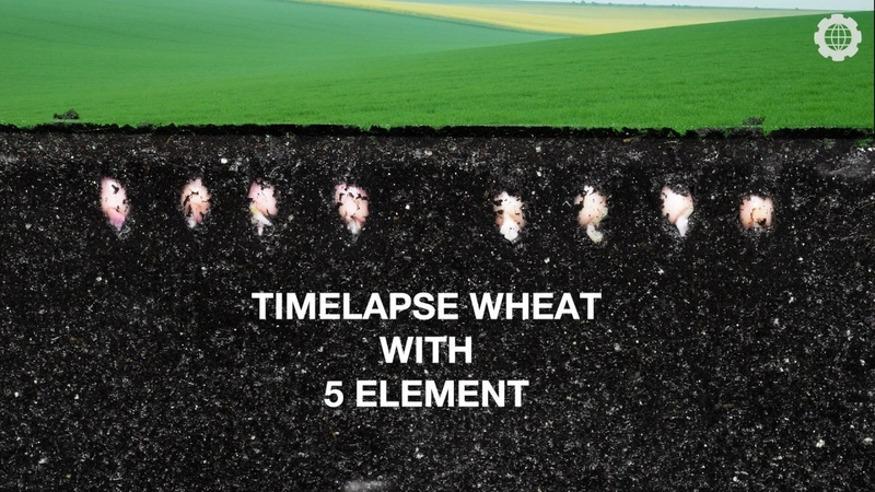 Macro Timelapse 4k - grow wheat root plant and sprouts