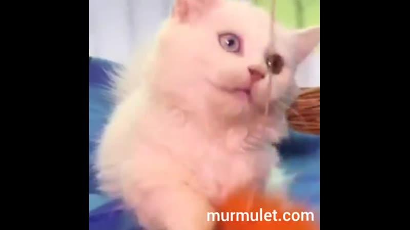 котенок Наполеон Минуэт Samanta