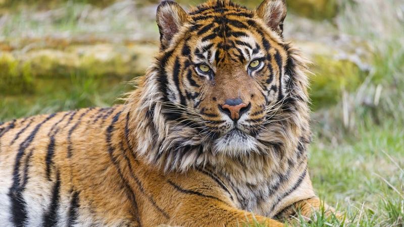 Картинка дикая кошка. Тигр, суматранский тигр.