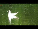 Озёрная чайка (нем. Lachmöwe) (анг. Black-headed Gull)