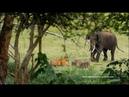 Слоны шугают тигра