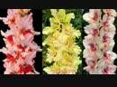 Садовые центры Чиполлино. Гладиолусы, новые семена, грунты, акции