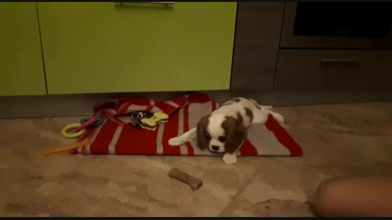 Кавалер кинг чарльз спаниель, щенок.