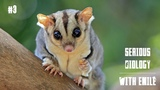 Squirrel gliders, the cutest animals on Earth - Serious Biology for Kids #3