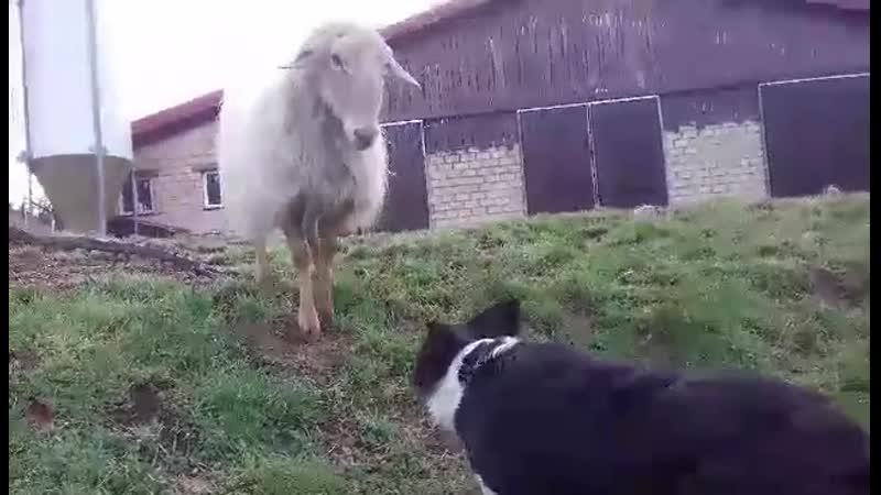Border Collie за рабоой