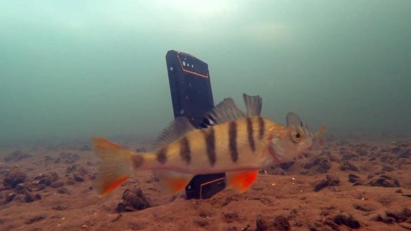 Реакция рыбы на музыку вибрацию Подводная съемка Телефон Land Rover P60
