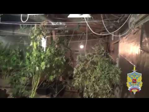 Полсотни кустов конопли нашли в подпольной лаборатории в Кашире
