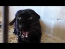 Angry Black Panther in a cage   Wild Animal video