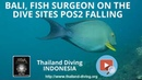 Bali, fish surgeon and corail on the dive sites POS2 Falling with the club Thailand Diving Pattaya