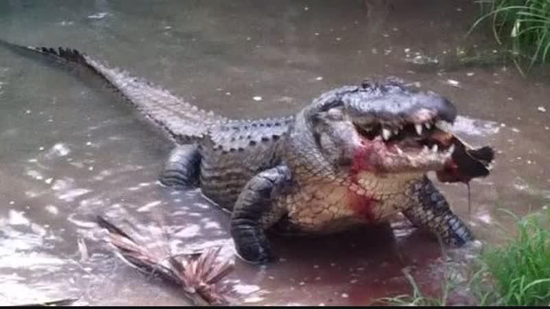 Огромный аллигатор ест гигантскую черепаху