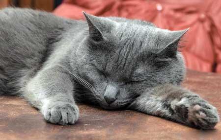 Домашние кошки должны получать таурин в своем рационе.