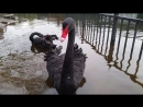 Чёрные лебеди в Санкт-Петербурге