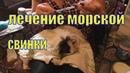 Лечение морской свинки /Уход за больной свинкой