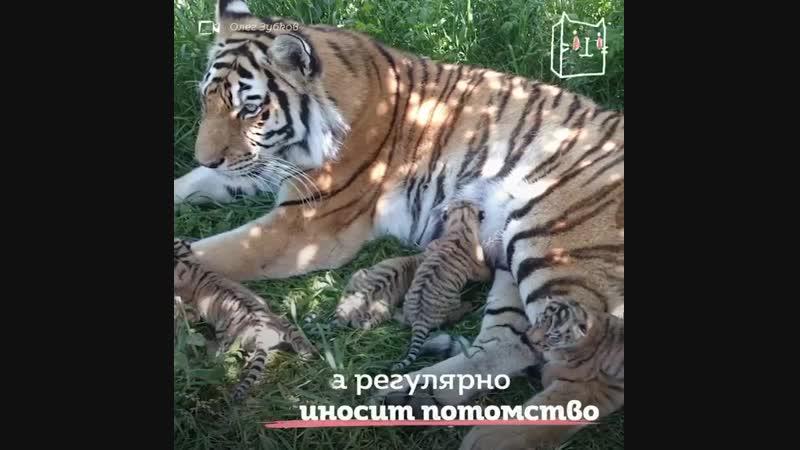 Тигрица Василиса из сафари-парка Тайган принимает всех детёнышей. Даже не своих. Саму Василису бросила мама после рождения...