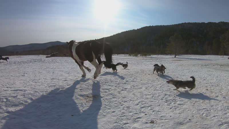 Весна пришла! Виват играет с Бэлкой. Туман с собаками.