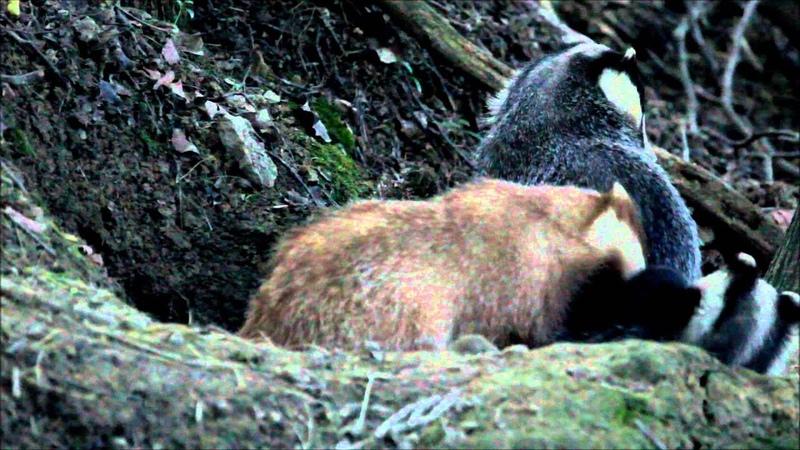 Щенок Erythristic Badger в семье