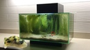 Micro puffer fish in wild aquarium ( pea puffer )