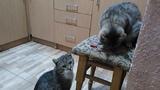Кот Стьопа забирает корм у Кота Льони(cat)