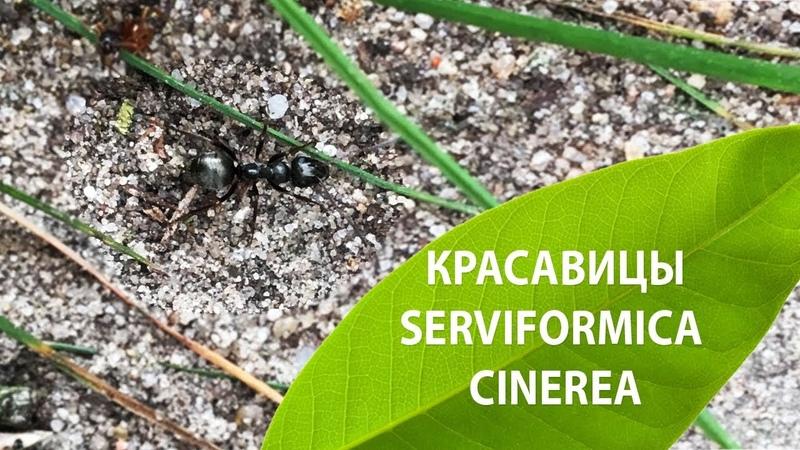 Красавицы Serviformica cinerea (замедление х2)