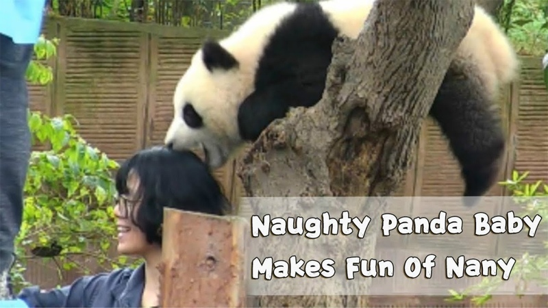 Panda Baby 'Photobombs' Nanny's Selfie iPanda