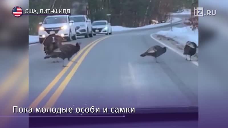 Индюк остановил движение чтобы перевести через дорогу свою стаю
