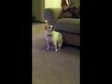 My Dog _Dancing_ To Eminem _Shake That_ ( 1280 X 720 ).mp4