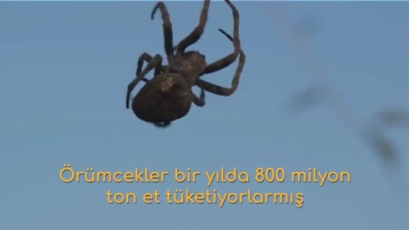 Örümcekler bir yılda 800 milyon ton et tüketiyorlarmış