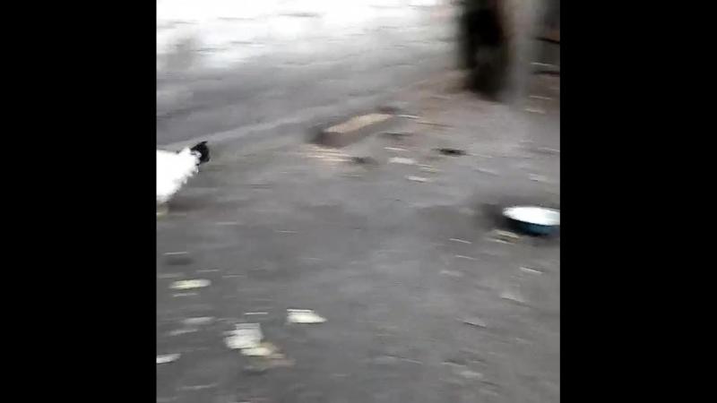 Курица почуствовала себя птичкой