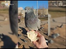 В Ярославском парке приручили голубей